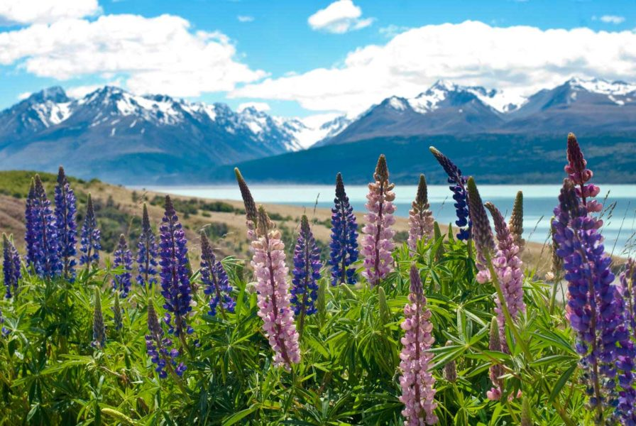 Lupins at Mount Cook, Mackenzie Basin, New Zealand