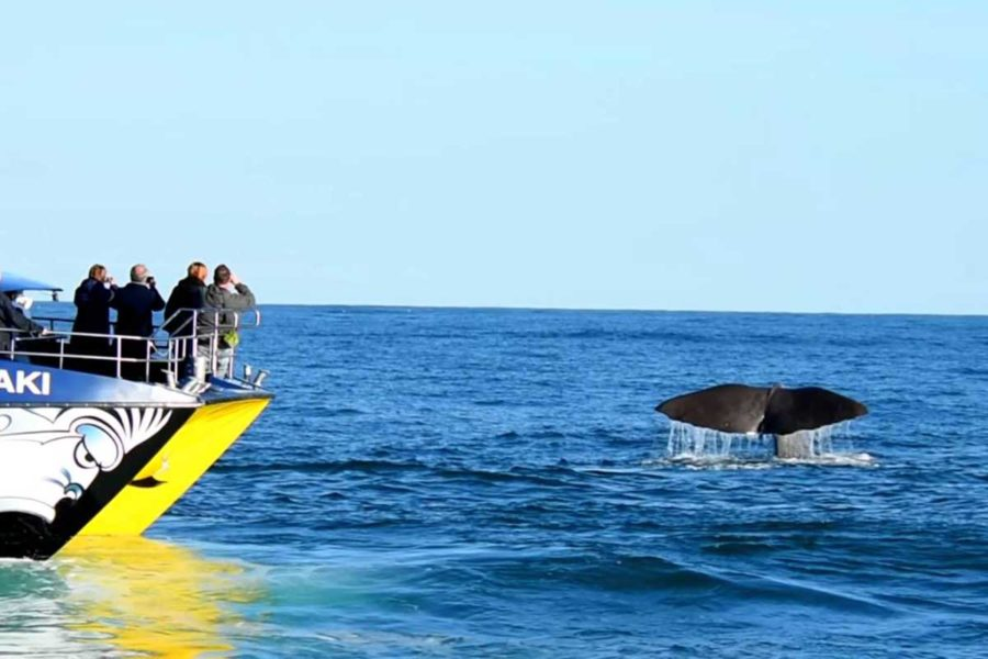 kaikoura whale watching guided tours south island new zealand